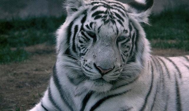 Tigre de Bengala de narcotraficante mexicano indiferente ante resultados electorales