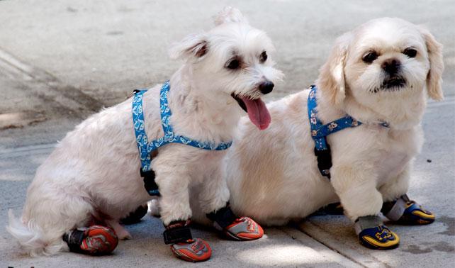 Perro con zapatos espera que su triste existencia termine con arrollamiento de carro