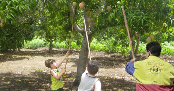 Maduro ordena tomar mata de mango que está produciendo poco