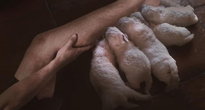 Pierna humana da a luz a cinco cachorritos de poodle