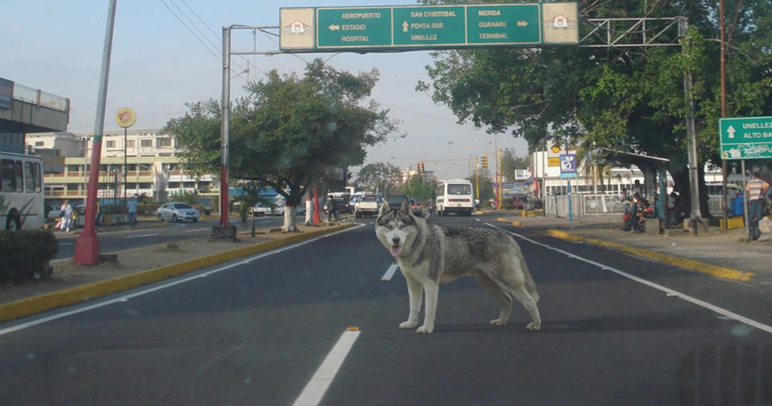 Husky siberiano está seguro que Barinas no es su ambiente natural