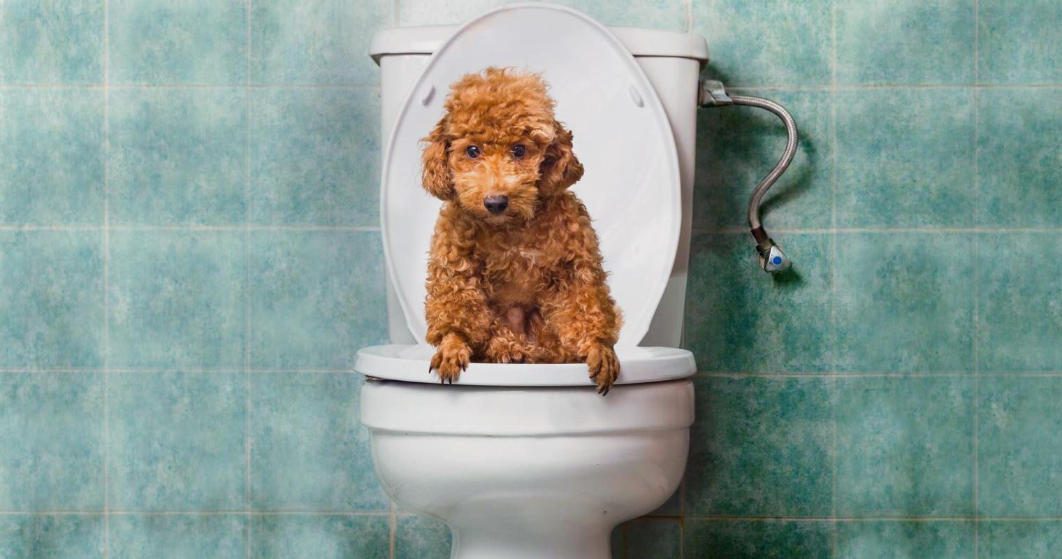 Perro fastidiado de que lo saquen solo al frente aprende a usar el baño