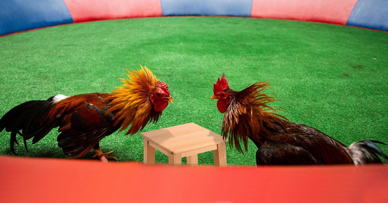 Llanero pacifista sustituye pelea de gallos por mesa de diálogo de gallos