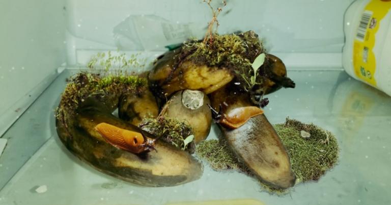 Ecosistema crece en cambures que mamá guardó en la nevera para hacer torta